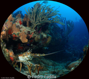 Lobster use my nikon D80 with fisheye lens. Shoot f/6.7 a... by Pedro Padilla 